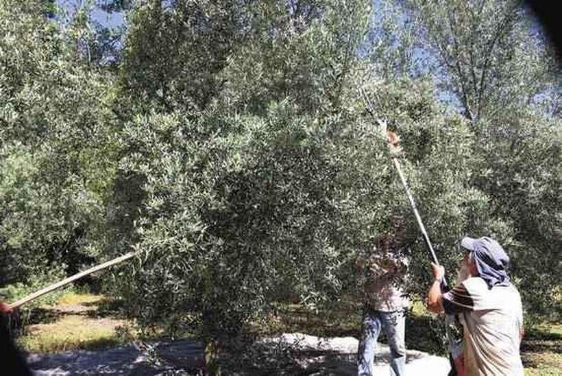 Jesus é chamado de oliveira e o Espírito Santo é chamado de azeite ou óleo