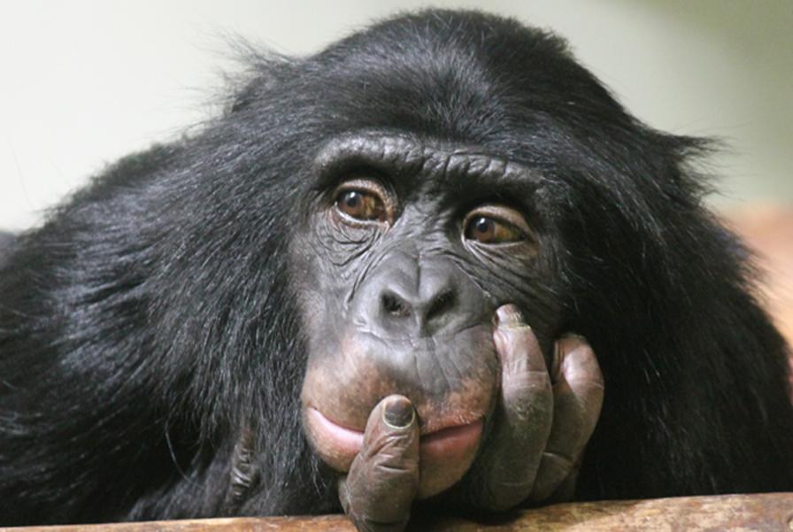 O homem tem alguma coisa de macaco, mas não é descendente do macaco. Veja a prova
